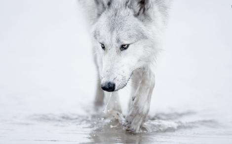 whitewolf-loboblanco
